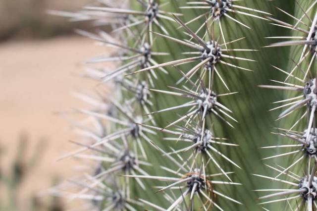 Saguaro Needles