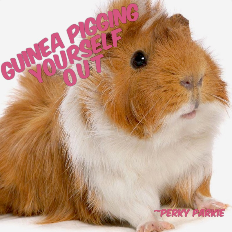 Guinea Pigging Yourself Out