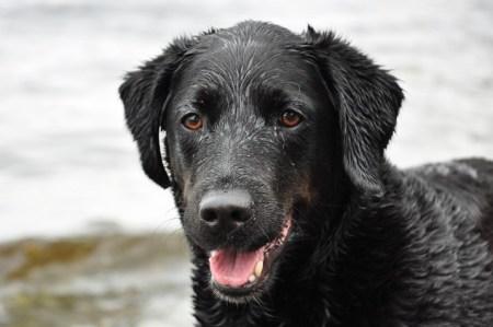 Wet black labrador ready to shake