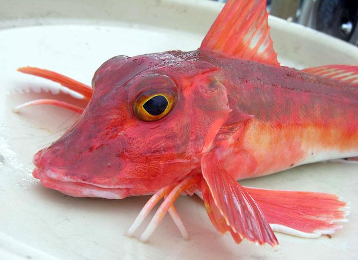 Un pesce rosso: la gallinella di mare