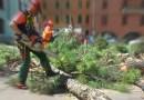 Fornovo i pini marittimi di Piazza Matteotti saranno abbattuti per sicurezza il rammarico della Sindaca Zanetti