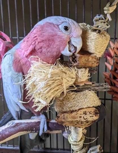 lil-sampler-toy-with-galah-cockatoo