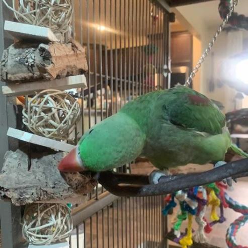 best toys for alexandrine parrots
