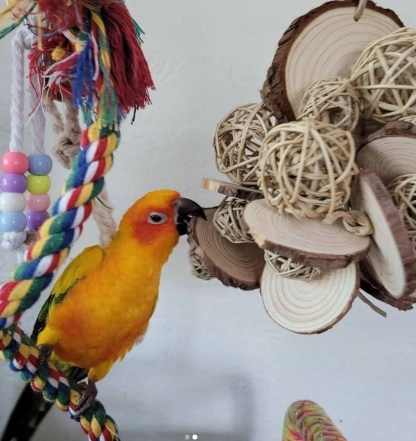 parrot playing with natural toy