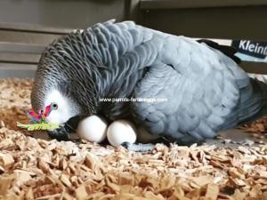 African Grey Eggs