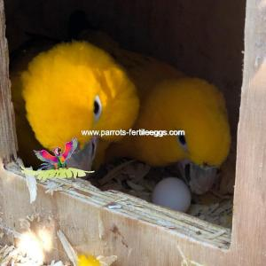 golden conure eggs2