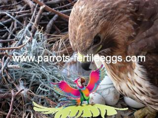 red tailed hawk egg