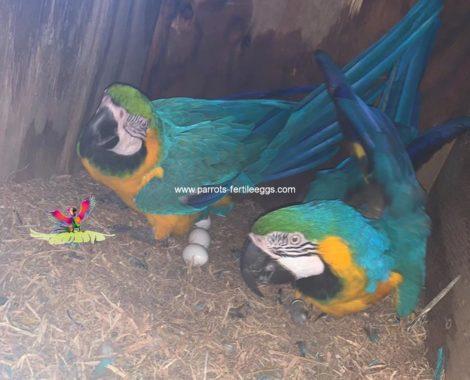 Macaw Fertile eggs