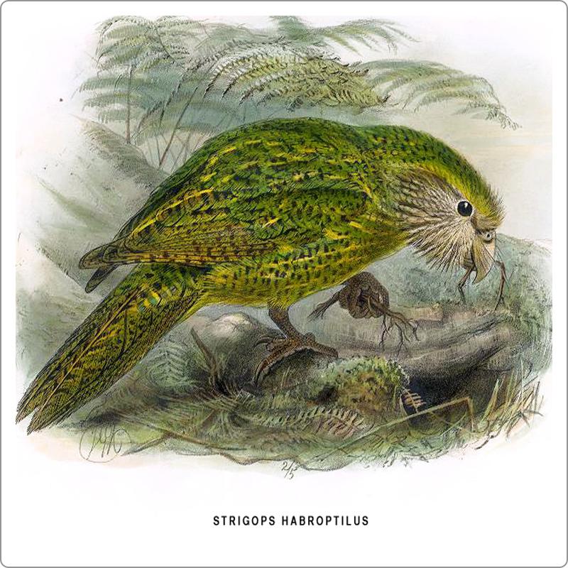 Illustration of Kakapo parrot