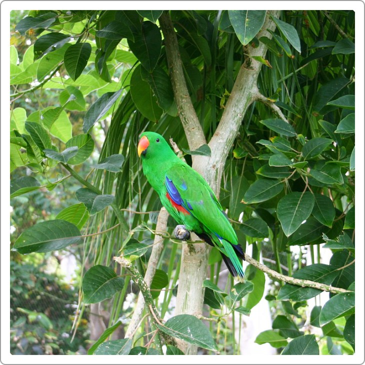 Eclectus parrot male in jungle