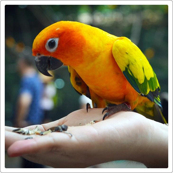 Tamed Golden sun corn parrot eating sunflower seeds on hand