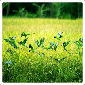 Lots of green parrots flying together in grass