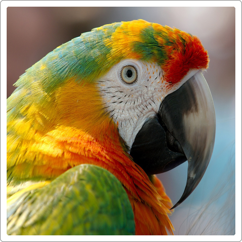Close up picture of head of macaw parrot