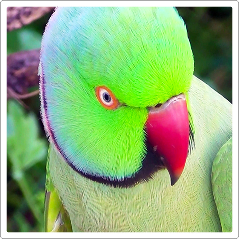 Green Indian RIng-neck parrot close image