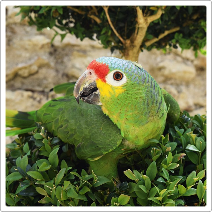 Red -lored amazon
