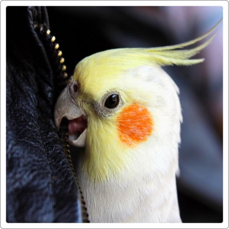 Cockatiel parrot  yellow