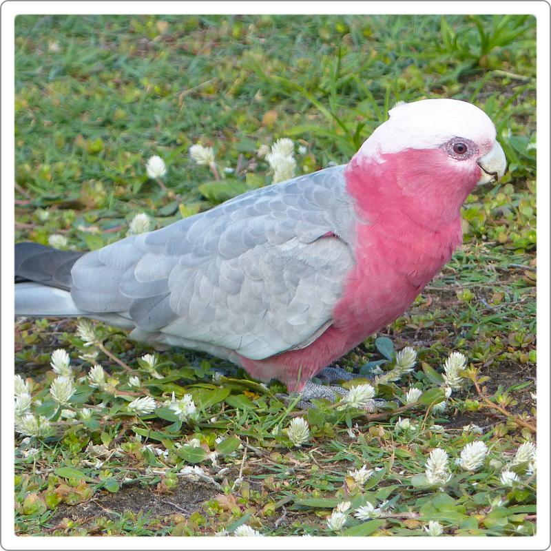 Galah parrot sitting on grass