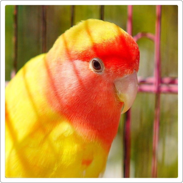 Lutino Lovebird siting on his cage