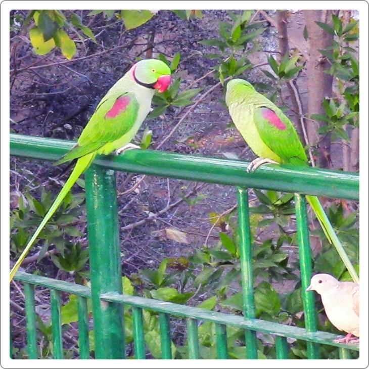 Alexandrine parakeet couple sitting
