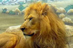 Avere i capelli crespi come un leone!