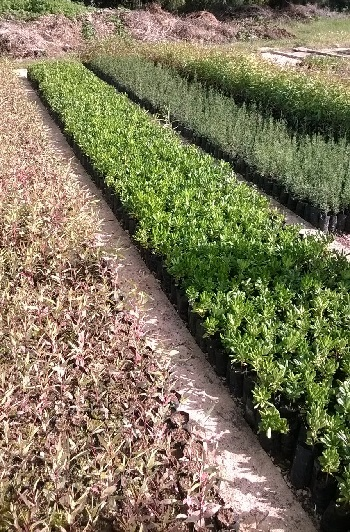 piante alberi gibellina 2