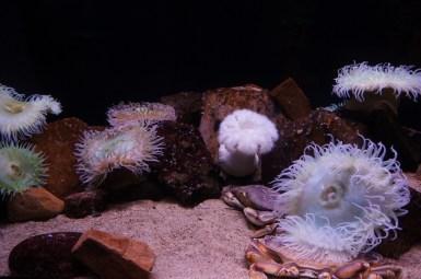anemones aquarium de San Francisco