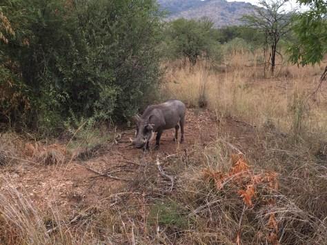 Pumba Pilanesberg