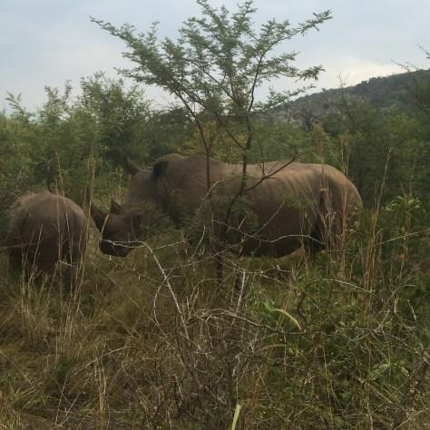 Rinocerontes Pilanesberg