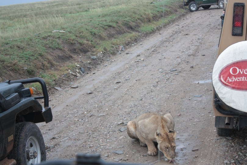 leona bebiendo en charco