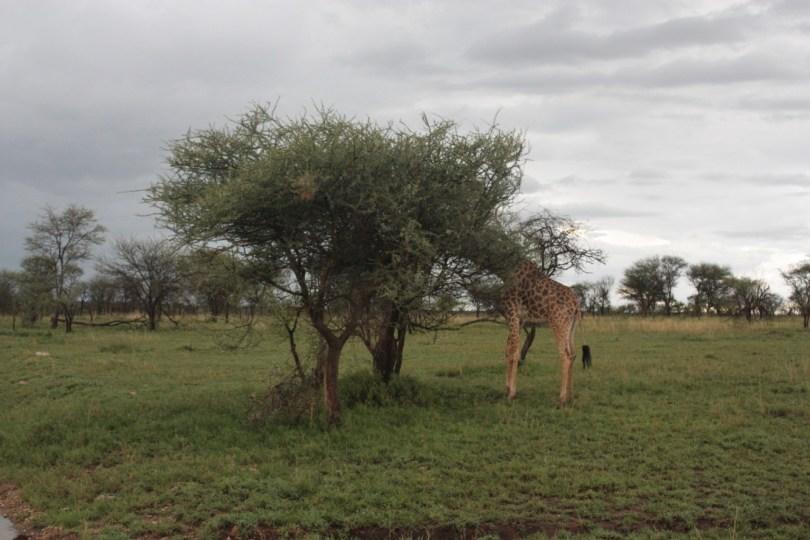 jirafa Serengueti