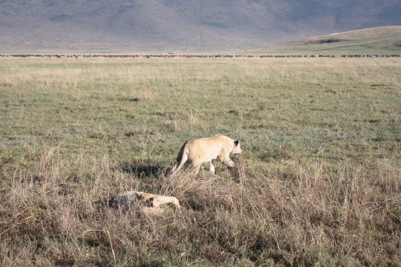 leones ngorongoro
