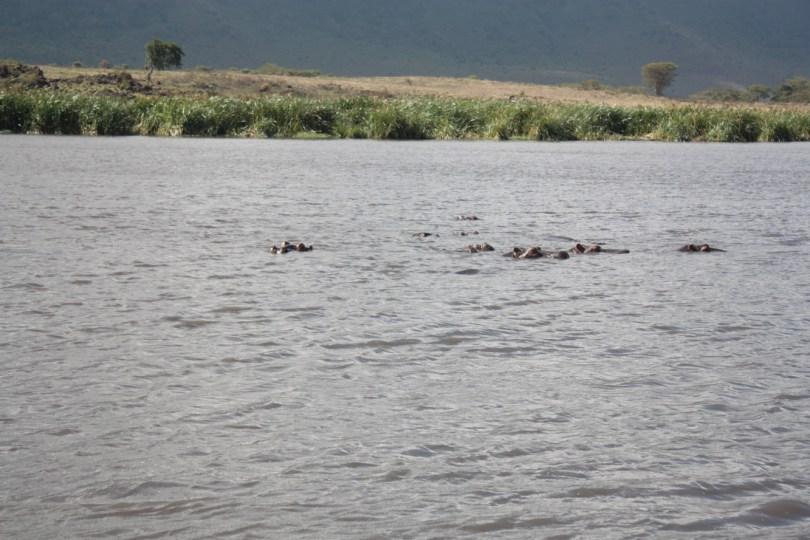 hipopótamos ngorongoro