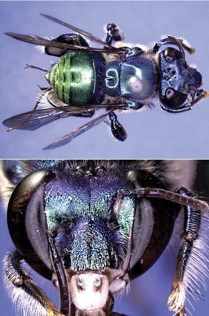 Euglossa bazinga – Biene wird nach Sheldon Cooper benannt