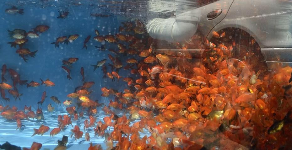 requin-d'aquarium