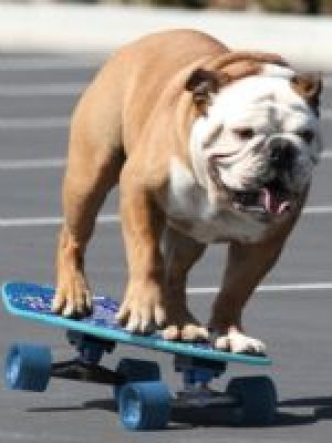 Surfing snowboarding and skateboarding Bulldog