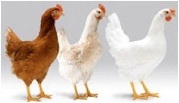 सर्दियों में मुर्गी पालन !     Pashudhan praharee
