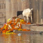 goat on ganges