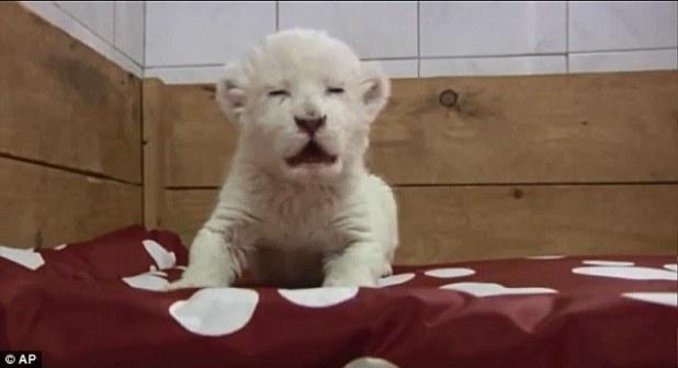Les premiers cris d'un bébé lion en vidéo