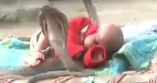 Vidéo : 4 cobras mortels protègent un bébé