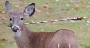 Des biologistes sauvent un jeune cerf d'une flèche dans la tête
