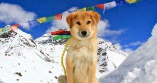 Rupee, le premier chien à l'assaut de l'Everest