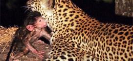 Vidéo: un léopard se prend d'affection pour le bébé de sa proie