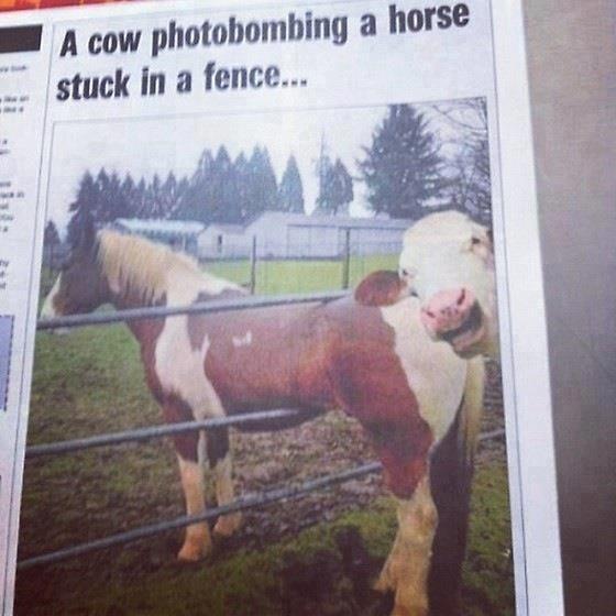 La vache moqueuse.