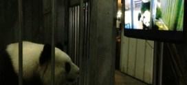 Quand les pandas visionnent du porno pour retrouver leur libido