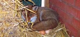 Un renard débusqué dans un poulailler... Il couvait les œufs