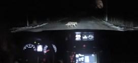Vidéo : une automobiliste percute un chien (fin heureuse)