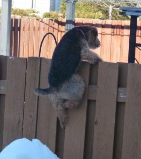 un-peu-plus-aventureux-ce-chien-tente-d-escalader-une-cloture-pour-s-evader_124500_w460