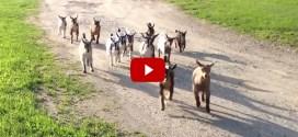 Vidéo : 44 bébés chèvres font leur course matinale!