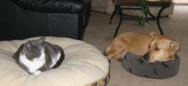 Vidéo : quand les chats piquent le coussin des chiens
