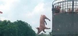 Vidéo : un cochon s'évade d'un camion